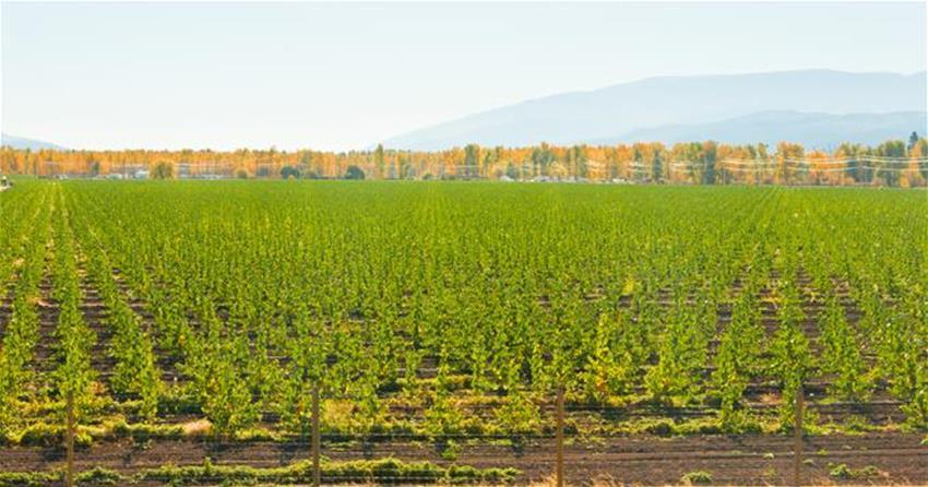 Poplar Trees 2014 -field