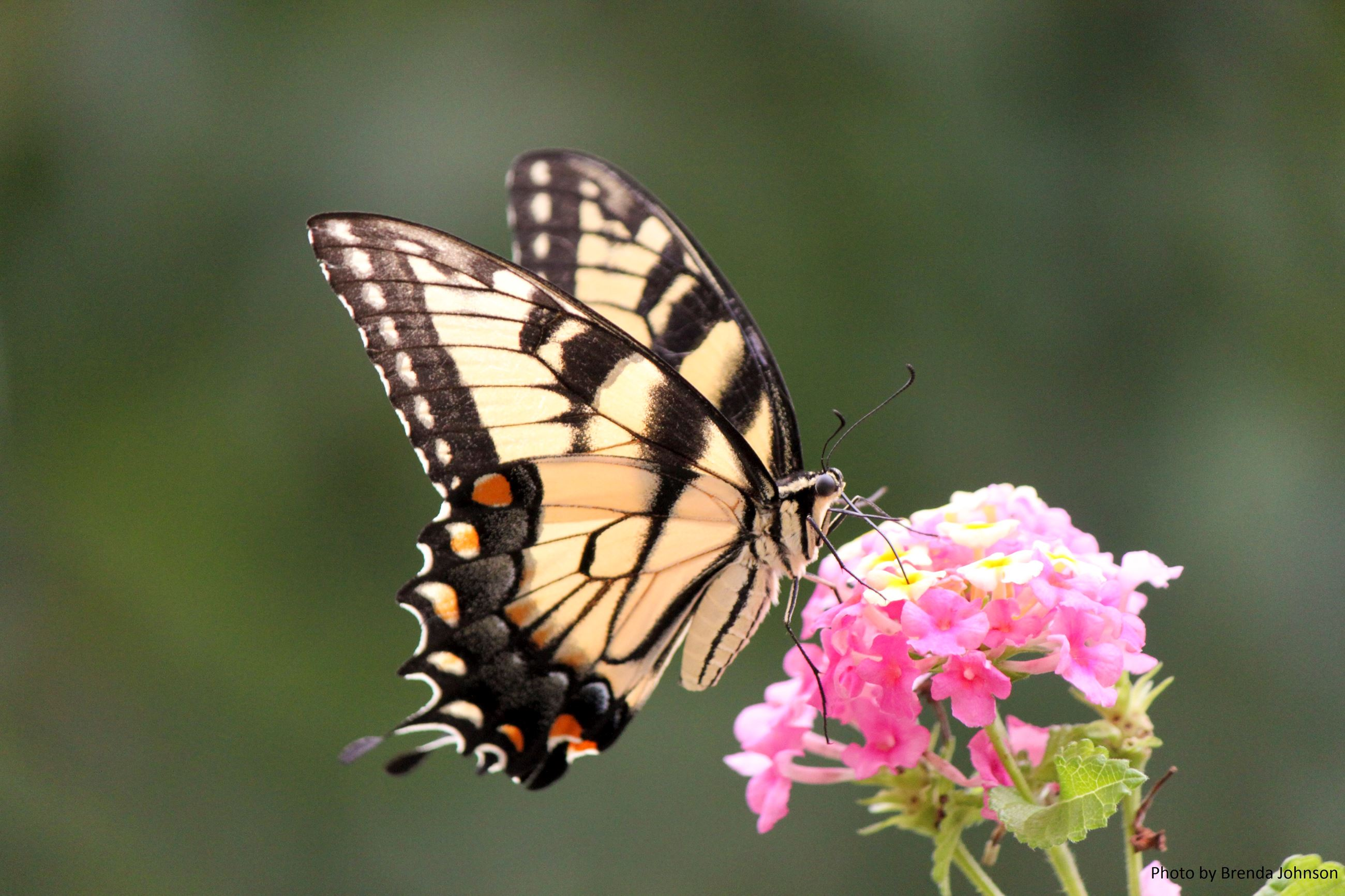 insect-butterfly-eastern-tiger-swallowtail-maryland-brenda-johnson (1)